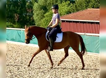 German Riding Pony, Mare, 5 years, 14 hh, Chestnut-Red