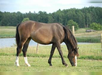 Welsh C (of Cob Type), Mare, 1 year, 13.2 hh, Brown