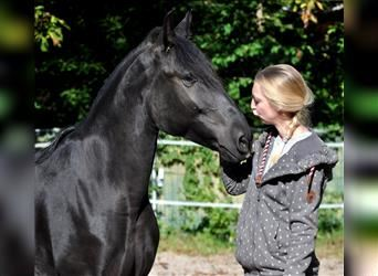Andalusier, Wallach, 4 Jahre, 155 cm, Rappe