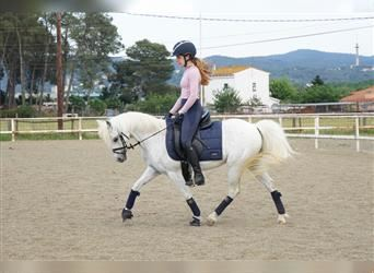 More ponies/small horses, Mare, 13 years, 12.2 hh, Gray-Fleabitten