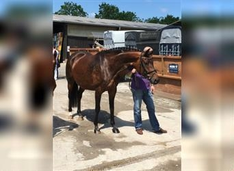 German Sport Horse, Mare, 13 years, 16.2 hh, Brown