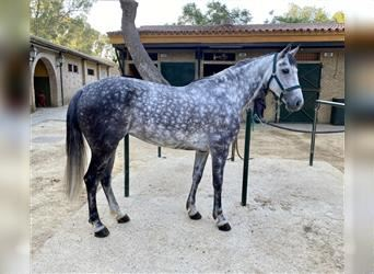 Anglo-Arab, Gelding, 6 years, 15.2 hh, Gray