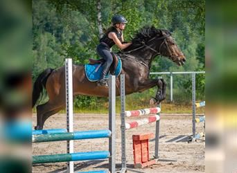 New Forest Pony, Gelding, 15 years, 14.2 hh, Brown