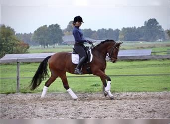 Welsh D (Cob), Mare, 8 years, 14.1 hh, Brown