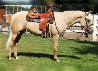 American Quarter Horse Mix, Mare, 4 years, 14.3 hh, Palomino