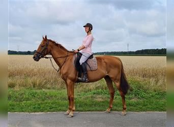 English Thoroughbred, Mare, 5 years, 16 hh, Chestnut-Red