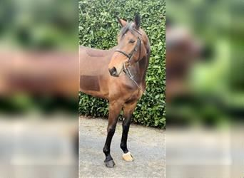 Hanoverian, Mare, 6 years, 17 hh, Brown