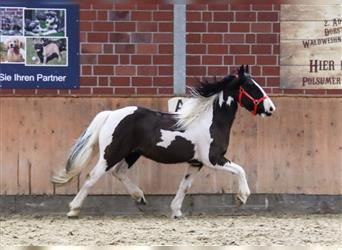 More ponies/small horses Mix, Gelding, 9 years, 13.2 hh, Pinto