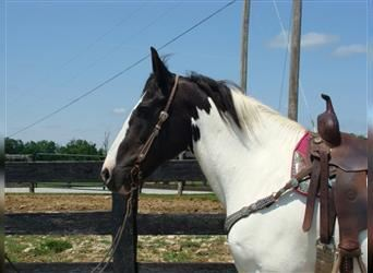Other Breeds, Mare, 14 years, 16.1 hh, Sorrel