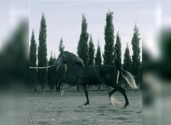 Andalusian, Stallion, 4 years, 17 hh, Gray