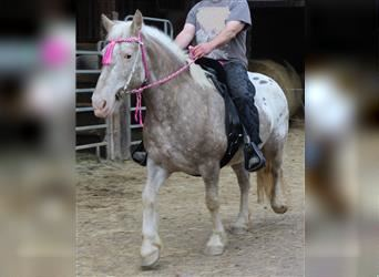 Gypsy Horse, Mare, 12 years, 14.2 hh, Leopard-Piebald