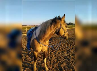 Paint Horse, Gelding, 9 years, 14.2 hh, Grullo
