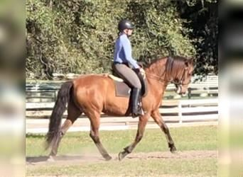 Andalusier, Stute, 11 Jahre, 157 cm,