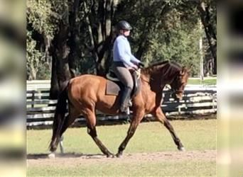Andalusian, Mare, 11 years, 15.2 hh