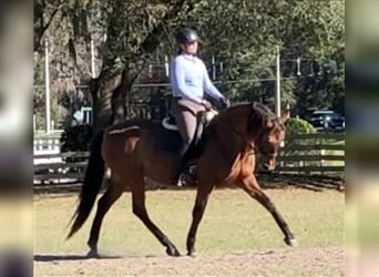 Andalusier, Stute, 11 Jahre, 157 cm