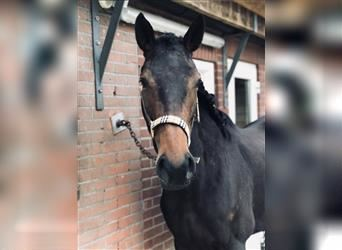 French riding pony, Gelding, 3 years, 15.1 hh, Brown