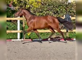 German Sport Horse, Mare, 3 years, 15.2 hh, Brown