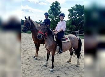 Polo Pony Mix, Mare, 4 years, 13 hh