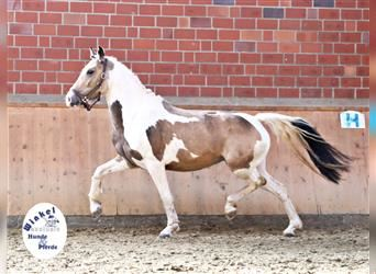 German Riding Pony, Mare, 3 years, 14.1 hh, Pinto