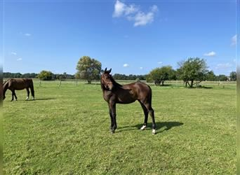 Holstein, Mare, Foal (03/2021), 16.2 hh, Brown