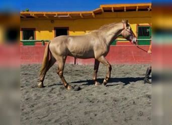 P.R.E. Mix, Gelding, 3 years, 16 hh, Champagne