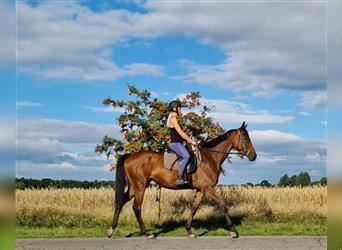English Thoroughbred, Mare, 5 years, 16 hh, Brown