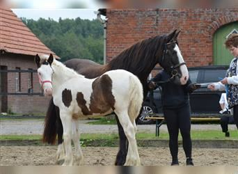 Gypsy Horse, Stallion, Foal (05/2021), 15 hh, Pinto