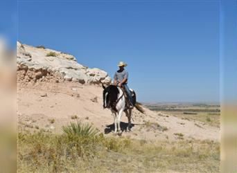 Paint Horse, Gelding, 9 years, 15.3 hh, Pinto