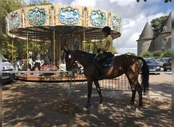 Anglo-Arab, Mare, 4 years, 16.1 hh, Brown