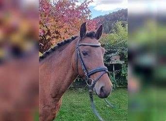 More ponies/small horses, Gelding, 7 years, 14.1 hh, Brown