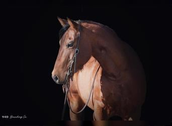 American Quarter Horse, Mare, 7 years, 14.2 hh, Bay