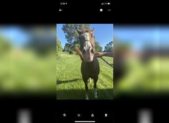 Paint Horse, Mare, 11 years, 15 hh, Dun
