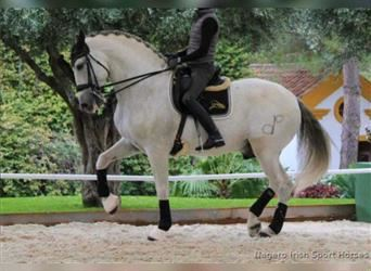 Andalusian, Stallion, 12 years, 17 hh, Gray