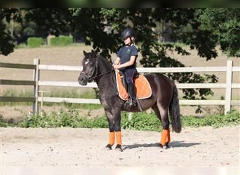 Andalusian, Mare, 11 years, 12 hh, Bay-Dark