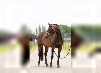 Belgian Riding Pony, Mare, 3 years, 13.1 hh, Brown