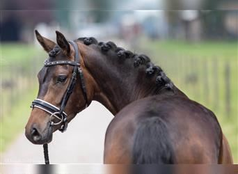 Belgian Riding Pony, Mare, 3 years, 13.2 hh, Brown