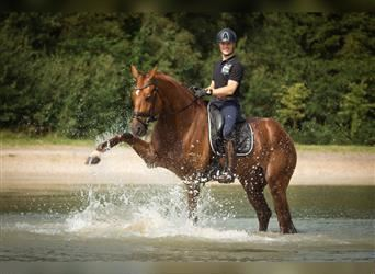 KWPN, Mare, 6 years, 16.2 hh, Chestnut