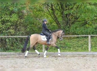 Andalusian, Gelding, 5 years, 15.2 hh, Chestnut