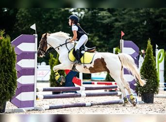 More ponies/small horses, Mare, 13 years, 13.2 hh