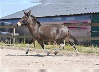 Mule, Mare, 4 years, 14 hh, Brown