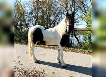 Pintos, Mare, 7 years, 13.2 hh