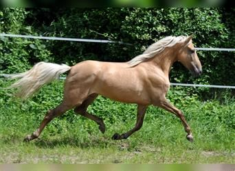 Andaluces, Yegua, 5 años, 155 cm, Palomino