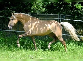 Andalusian, Mare, 5 years, 15.1 hh, Palomino