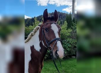 More ponies/small horses, Gelding, 5 years, 14.1 hh, Pinto