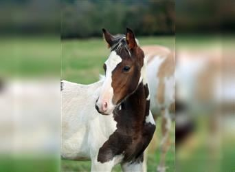 American Indian Horse, Stallion, 1 year, 15.1 hh, Tovero-all-colors