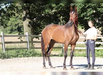Andalusian, Mare, 6 years, 16.2 hh, Brown