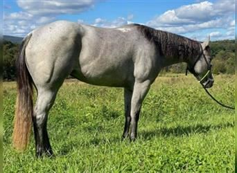 American Quarter Horse, Mare, 3 years, 15 hh, Gray