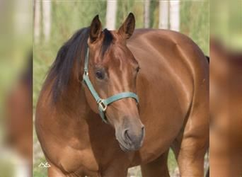 American Quarter Horse, Mare, 4 years, 15.1 hh, Brown