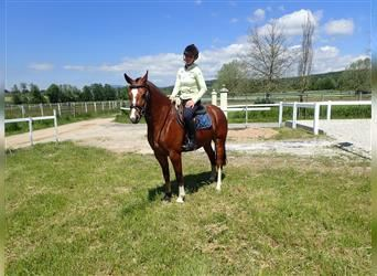 Freiberger, Mare, 4 years, 15 hh, Brown