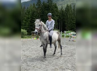 More ponies/small horses, Gelding, 4 years, 13.2 hh, Gray-Dapple